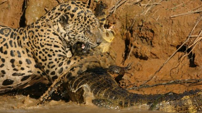 Épica lucha entre un jaguar y un caimán, mira quién ganó