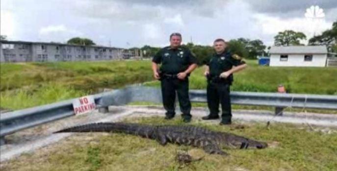 Reptiles acechan: descubren caimán en la piscina